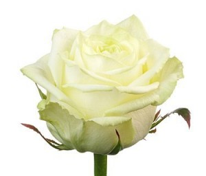 Rose White Ukraine 60-70 cm ― Ukrflower - flower delivery