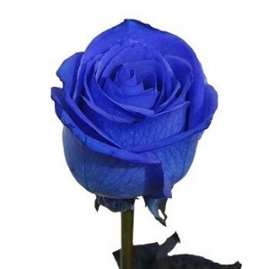 Blue rose 70-80 cm ― Ukrflower - flower delivery