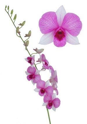 Orchid ― Ukrflower - flower delivery
