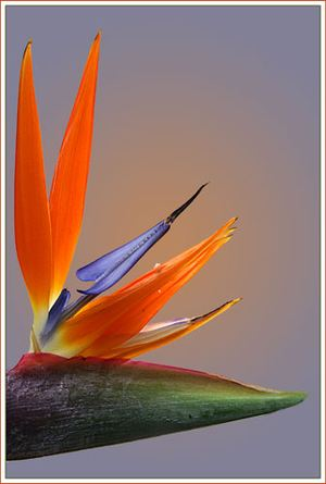 Strelitzia ― Ukrflower - flower delivery