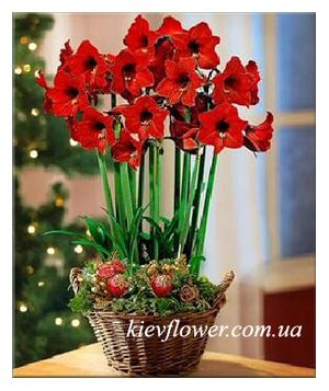 "Basket with Amaryllis ""Fairy Tale "" ― Ukrflower - flower delivery"