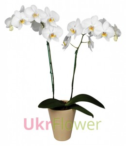 The orchid Phalaenopsis (white) ― Ukrflower - flower delivery