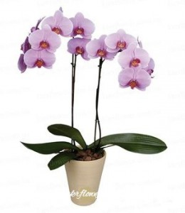 Orchid of Phalaenopsis (pink) ― Ukrflower - flower delivery