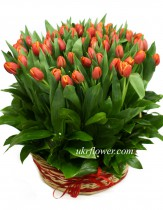 75 tulips in basket